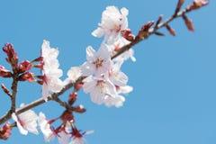 Κινηματογράφηση σε πρώτο πλάνο του άνθους κερασιών, λουλούδια Sakura Στοκ εικόνες με δικαίωμα ελεύθερης χρήσης