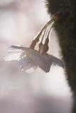 Κινηματογράφηση σε πρώτο πλάνο του άνθους κερασιών, sakura, στο Τόκιο Στοκ Εικόνες
