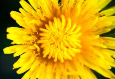 Κινηματογράφηση σε πρώτο πλάνο του ανθίζοντας κίτρινου λουλουδιού πικραλίδων Στοκ εικόνα με δικαίωμα ελεύθερης χρήσης