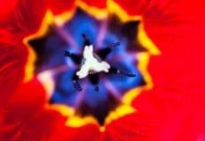 Κινηματογράφηση σε πρώτο πλάνο του ανθίζοντας κόκκινου λουλουδιού τουλιπών Στοκ Εικόνες