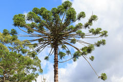 Κινηματογράφηση σε πρώτο πλάνο του ανώτερου μέρους του angustifolia αροκαριών (βραζιλιάνο πεύκο Στοκ Εικόνα
