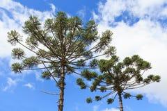 Κινηματογράφηση σε πρώτο πλάνο του ανώτερου μέρους του angustifolia αροκαριών (βραζιλιάνο πεύκο Στοκ Φωτογραφία