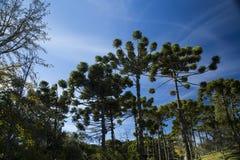 Κινηματογράφηση σε πρώτο πλάνο του ανώτερου μέρους του angustifolia αροκαριών (βραζιλιάνο πεύκο Στοκ εικόνες με δικαίωμα ελεύθερης χρήσης