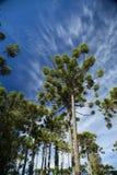 Κινηματογράφηση σε πρώτο πλάνο του ανώτερου μέρους του angustifolia αροκαριών (βραζιλιάνο πεύκο Στοκ Εικόνες