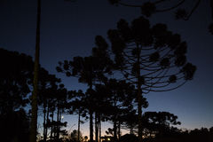 Κινηματογράφηση σε πρώτο πλάνο του ανώτερου μέρους του angustifolia αροκαριών (βραζιλιάνο πεύκο Στοκ εικόνα με δικαίωμα ελεύθερης χρήσης