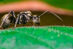 Κινηματογράφηση σε πρώτο πλάνο του αρσενικού μυρμηγκιού υφαντών εργαζομένων χρυσού Στοκ Εικόνες