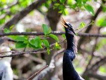 Κινηματογράφηση σε πρώτο πλάνο του αρσενικού anhinga στον κλάδο δέντρων Στοκ Φωτογραφίες