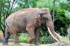 Κινηματογράφηση σε πρώτο πλάνο του ασιατικού περπατήματος ελεφάντων Στοκ Εικόνα