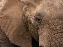 Κινηματογράφηση σε πρώτο πλάνο του αφρικανικού ελέφαντα Στοκ Εικόνες