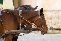Κινηματογράφηση σε πρώτο πλάνο του αλόγου τσιγγάνων με συρμένα τα άλογο λουριά μεταφορών επάνω στοκ εικόνα