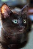 Κινηματογράφηση σε πρώτο πλάνο του εβδομάδα-παλαιού μαύρου γατακιού 8 Στοκ φωτογραφία με δικαίωμα ελεύθερης χρήσης