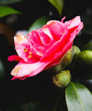Κινηματογράφηση σε πρώτο πλάνο του ενιαίου κόκκινου λουλουδιού Στοκ Εικόνες