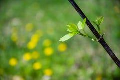 Κινηματογράφηση σε πρώτο πλάνο του λεπτού κλάδου με τα φρέσκα πράσινα φύλλα Θολωμένο κίτρινο δ Στοκ Εικόνες