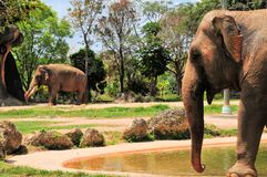 Κινηματογράφηση σε πρώτο πλάνο του θηλυκού ελέφαντα που πηγαίνει στον αρσενικό ελέφαντα Στοκ φωτογραφία με δικαίωμα ελεύθερης χρήσης