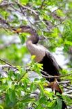 Κινηματογράφηση σε πρώτο πλάνο του θηλυκού anhinga στον κλάδο δέντρων Στοκ Εικόνες