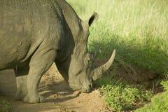 Κινηματογράφηση σε πρώτο πλάνο του διακυβευμένου άσπρου ρινοκέρου στη συντήρηση άγριας φύσης Lewa, βόρεια Κένυα, Αφρική στοκ φωτογραφίες