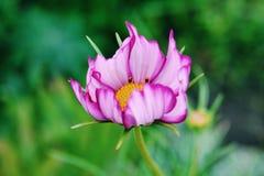 Κινηματογράφηση σε πρώτο πλάνο του ιώδους λουλουδιού Στοκ Φωτογραφία