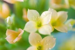 Κινηματογράφηση σε πρώτο πλάνο του κέντρου του κίτρινου λουλουδιού με τα σταγονίδια νερού Στοκ Φωτογραφίες