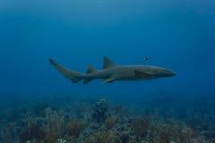 Κινηματογράφηση σε πρώτο πλάνο του καρχαρία νοσοκόμων που κολυμπά στην κοραλλιογενή ύφαλο Στοκ εικόνα με δικαίωμα ελεύθερης χρήσης