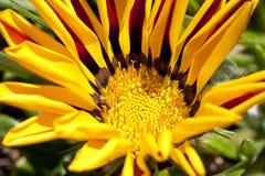 Κινηματογράφηση σε πρώτο πλάνο του κόκκινου και κίτρινου γενικού λουλουδιού Στοκ εικόνες με δικαίωμα ελεύθερης χρήσης