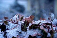 Καλυμμένος πάγος κισσός στοκ εικόνα με δικαίωμα ελεύθερης χρήσης