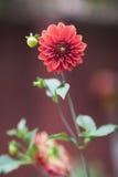 Κινηματογράφηση σε πρώτο πλάνο του κόκκινου λουλουδιού Στοκ Εικόνα