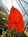 Κινηματογράφηση σε πρώτο πλάνο του κόκκινου anthurium andreanum Στοκ Φωτογραφίες