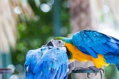 Κινηματογράφηση σε πρώτο πλάνο του μπλε-και-κίτρινου macaw, Στοκ Φωτογραφίες