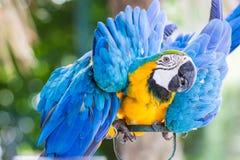 Κινηματογράφηση σε πρώτο πλάνο του μπλε-και-κίτρινου macaw, Στοκ φωτογραφία με δικαίωμα ελεύθερης χρήσης