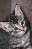 Κινηματογράφηση σε πρώτο πλάνο του νέου με κοντά μαλλιά γκρίζου τιγρέ γατακιού Στοκ Εικόνα