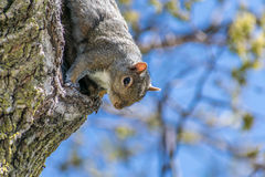 Κινηματογράφηση σε πρώτο πλάνο του νέου σκιούρου στο δέντρο που εξετάζει τη κάμερα Στοκ φωτογραφία με δικαίωμα ελεύθερης χρήσης