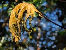 Κινηματογράφηση σε πρώτο πλάνο του ξηρού papaya φύλλου Στοκ Φωτογραφίες