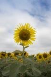 Κινηματογράφηση σε πρώτο πλάνο του λουλουδιού ήλιων ενάντια σε έναν μπλε ουρανό Στοκ Φωτογραφίες