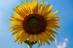 Κινηματογράφηση σε πρώτο πλάνο του λουλουδιού ήλιων ενάντια σε έναν μπλε ουρανό Στοκ εικόνες με δικαίωμα ελεύθερης χρήσης