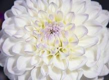 Κινηματογράφηση σε πρώτο πλάνο του λουλουδιού νταλιών Στοκ εικόνες με δικαίωμα ελεύθερης χρήσης