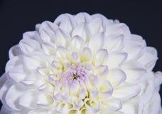 Κινηματογράφηση σε πρώτο πλάνο του λουλουδιού νταλιών Στοκ Εικόνες