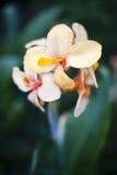 Κινηματογράφηση σε πρώτο πλάνο του λουλουδιού hedychium Στοκ Φωτογραφίες