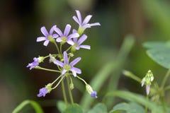 Κινηματογράφηση σε πρώτο πλάνο του λουλουδιού woodsorrel Στοκ Εικόνες