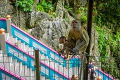 Κινηματογράφηση σε πρώτο πλάνο του πιθήκου και του μωρού της στις σπηλιές Batu, Μαλαισία Στοκ Φωτογραφία