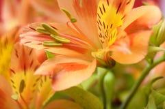 Κινηματογράφηση σε πρώτο πλάνο του πορτοκαλιού περουβιανού λουλουδιού κρίνων Στοκ Εικόνα