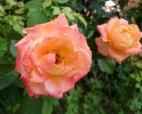 Κινηματογράφηση σε πρώτο πλάνο του πορτοκαλιού ροδαλού λουλουδιού που ανθίζει στον κήπο, Ταϊλάνδη Στοκ Φωτογραφία