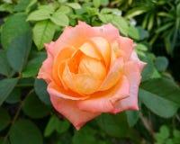 Κινηματογράφηση σε πρώτο πλάνο του πορτοκαλιού ροδαλού λουλουδιού Στοκ Φωτογραφία