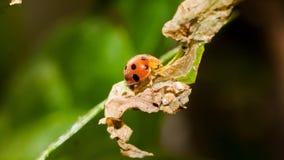 Κινηματογράφηση σε πρώτο πλάνο του πορτοκαλιού ladybug Στοκ φωτογραφία με δικαίωμα ελεύθερης χρήσης