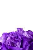 Κινηματογράφηση σε πρώτο πλάνο του πορφυρού λουλουδιού γαρίφαλων Στοκ φωτογραφία με δικαίωμα ελεύθερης χρήσης