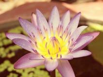 Κινηματογράφηση σε πρώτο πλάνο του πορφυρού λουλουδιού Lotus Στοκ Φωτογραφία