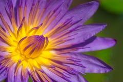 Κινηματογράφηση σε πρώτο πλάνο του πορφυρού Lotus αστεριών Στοκ Εικόνα
