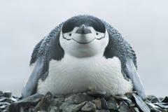 Κινηματογράφηση σε πρώτο πλάνο του πουλιού, chinstrap penguin (Pygoscelis Ανταρκτική) Στοκ Εικόνες