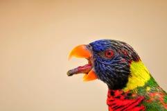 Κινηματογράφηση σε πρώτο πλάνο του πουλιού Lorikeet ουράνιων τόξων, Φλώριδα Στοκ Εικόνες