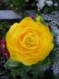 Κινηματογράφηση σε πρώτο πλάνο του πολύ λεπτομερούς κίτρινου λουλουδιού Στοκ Εικόνα