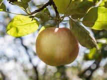 Κινηματογράφηση σε πρώτο πλάνο του πράσινου μήλου σε έναν κλάδο σε έναν οπωρώνα Στοκ Εικόνες